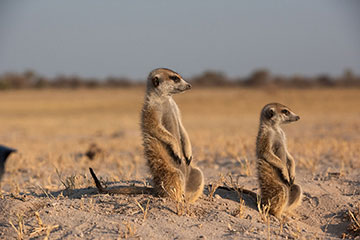 Meerkats on the look out. Wildlife photography by Chris Prince
